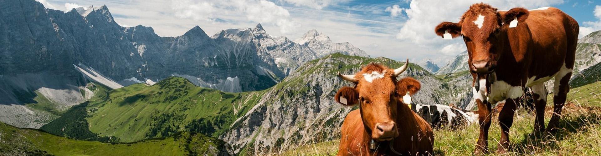 Banner - Koeien Oostenrijk